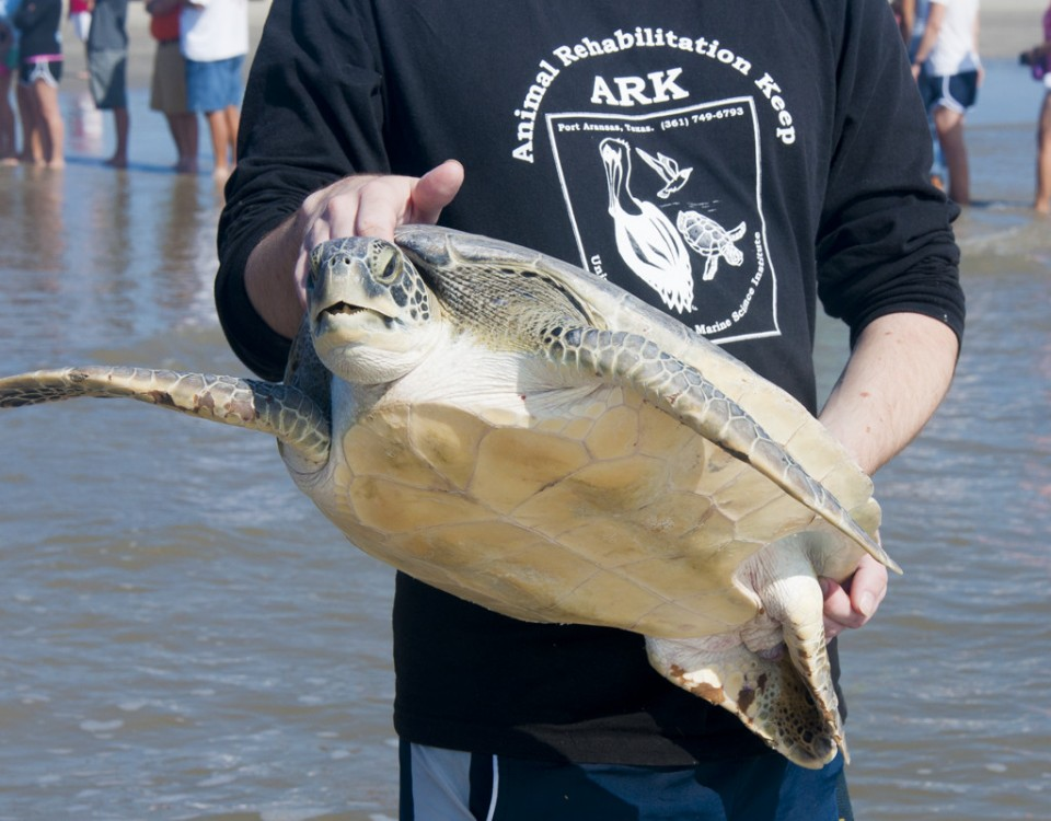 Close up of turtle being released.