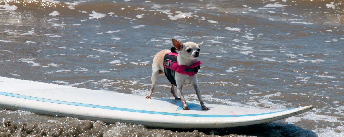 A chihuahua on a surfboard in Port Aransas.