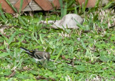 Golden rumped warbler
