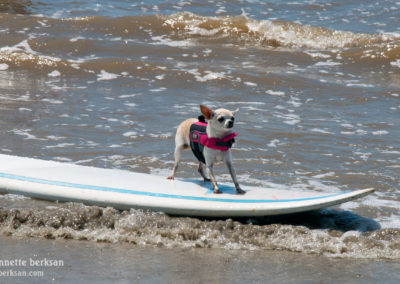 Surfing Chihuahua